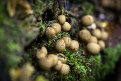 Champignons de couche sauvages comestibles Photographie stock libre de droits
