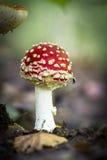 Champignons de couche sauvages comestibles Photo libre de droits