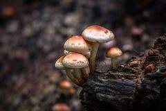 Champignons de couche sauvages comestibles Photos stock