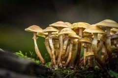 Champignons de couche sauvages comestibles Image libre de droits