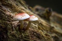 Champignons de couche sauvages comestibles Photo stock