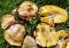 Champignons de couche sauvages dans l'herbe Photographie stock