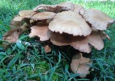 Champignons de couche sauvages dans l'herbe Photo libre de droits