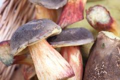 Champignons de couche sauvages dans le panier Image stock