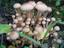 Champignons de couche sauvages légers Photos stock
