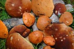Champignons de couche se trouvant sur une herbe Image libre de droits