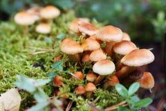 Champignons de couche sensibles dans la forêt Photographie stock libre de droits