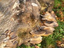 Champignons de couche sur le joncteur réseau d'arbre Photographie stock
