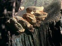 Champignons de couche sur le vieux tronçon en bois, source photo stock