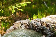Champignons de couche sur un joncteur réseau d'arbre tombé Image stock