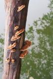 Champignons de couche sur un logarithme naturel Photographie stock