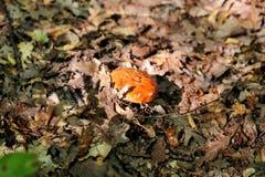 Champignons de cueillette Cueillette de champignon dans une forêt pendant l'automne en nature Un élevage non comestible de champi Images libres de droits
