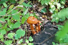 Champignons de cueillette Cueillette de champignon dans une forêt pendant l'automne en nature Un élevage non comestible de champi Image stock