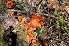 Champignons de cueillette Cueillette de champignon dans une forêt pendant l'automne en nature Un élevage non comestible de champi Images stock