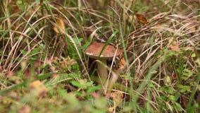Champignons de cueillette dans la forêt clips vidéos