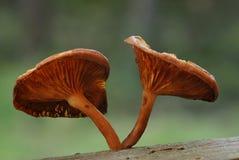 Champignons de hybridus de Gymnopilus photo libre de droits
