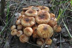 Champignons de mellea d'Armillaria Photo libre de droits