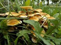 Champignons de miel dans l'herbe Image libre de droits