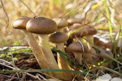 Champignons de miel parmi l'herbe sèche un jour ensoleillé Photographie stock libre de droits