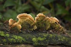 Champignons de parenthèse oranges de pore Photos stock