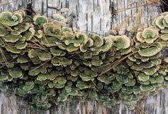 Champignons de parenthèse sur le rondin de bouleau photo libre de droits