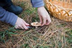 Champignons de pin de cueillette Photos libres de droits