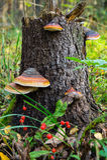 Champignons de Polypore sur un vieux tronçon Image libre de droits