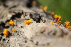 Champignons de spathularia de Dacryopinax sur le brach photographie stock