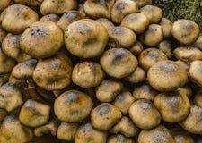 Champignons de vesse-de-loup de tronçon Photo libre de droits