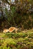 Champignons en nature Image libre de droits