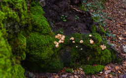 Champignons entre Moss Green photographie stock