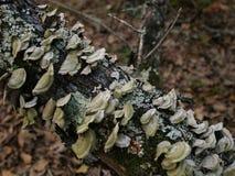 Champignons et champignon s'élevant sur un membre d'arbre tombé Images stock