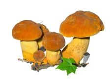 Champignons (extremiorientale de Leccinium) 13 Images stock