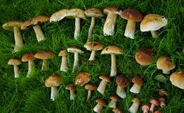 Champignons fraîchement sélectionnés sur l'herbe verte Photos libres de droits