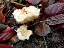 champignons hirsute images libres de droits
