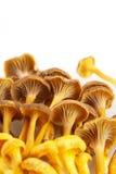 Champignons jaunes de pied Photographie stock libre de droits