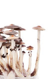 Champignons magiques de Psylocybin d'isolement photo libre de droits