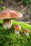 Champignons nobles sauvages dans la forêt Photos libres de droits