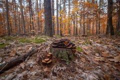 Champignons non comestibles colorés s'élevant sur le tronçon de pin dans la forêt d'automne image libre de droits