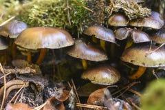 Champignons non comestibles s'élevant dans la forêt pendant l'automne photographie stock libre de droits