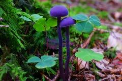 Champignons pourpres dans la forêt à feuilles caduques Images stock