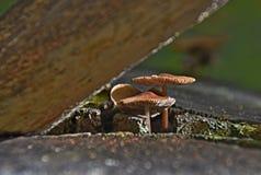 Champignons poussant du tronçon Photos stock