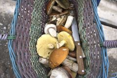Champignons rassemblés en panier Champignons de couche frais Panier avec des champignons de couche Photos libres de droits