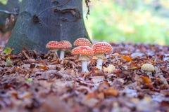 Champignons repérés d'agaric de mouche dans les bois Image libre de droits