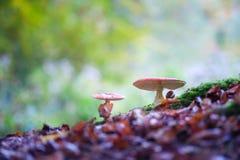 Champignons repérés d'agaric de mouche dans les bois Photographie stock libre de droits
