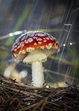 Champignons rouges d'agaric de mouche de muscaria d'amanite avec les taches blanches dans l'herbe image libre de droits