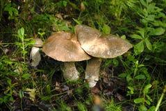 Champignons s'élevant sur l'herbe verte dans le plan rapproché de forêt Image libre de droits