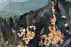 Champignons s'élevant sur le tronc d'arbre Images stock