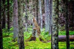 Champignons s'élevant sur le vieil arbre cassé Images libres de droits