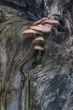 Champignons s'élevant sur un vieil arbre mort Photographie stock libre de droits
